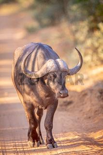 African buffalo walking towards the camera.