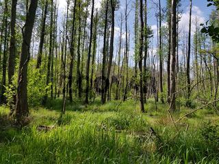 Erlenbruchwald im Briesetal im Land Brandenburg, nördlich von Berlin