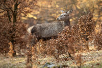 Red deer stag with new antlers covered in velvet hiding between bushes