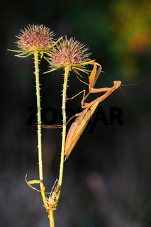 Brown european mantis holding on blooming thistle in summer nature