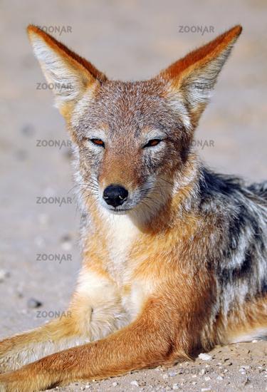 Schabrackenschakal, Kgalagadi-Transfrontier-Nationalpark, Südafrika, (Canis mesomelas) | black-backed jackal, Kgalagadi Transfrontier National Park, South Africa, (Canis mesomelas)