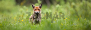 Red fox looking into camera on a green meadow in summer nature with copy space