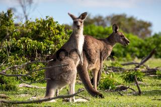 Two kangaroos in a bush land setting