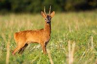 Roe deer buck watching on stubble in sunrise.