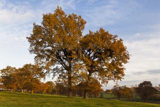 große Eichen auf Wiese in Herbstkleid
