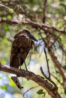 water bird Hamerkop Ethiopia Africa wildlife