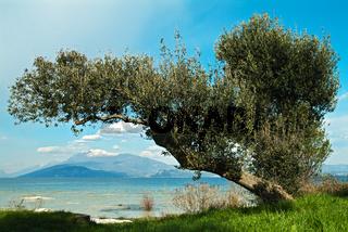 Olivenbaum am Gardasee