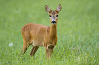 Cute roe deer doe facing camera on green summer meadow