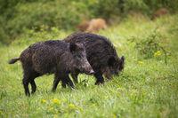 Wet wild boars feeding on green meadow in summer nature