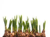 Growing narcissus bulbs in a row in front of white background