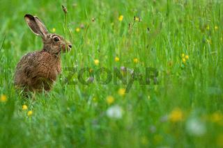 Feldhase,brown hare