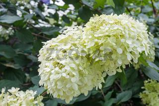 Hydrangea arborescens, flowering tree in garden