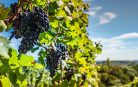 Red Grapes on the Vine at Styrian Vineyard. Harvest season in Autumn