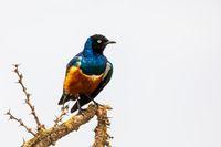 superb Starling bird, Ethiopia Wildlife