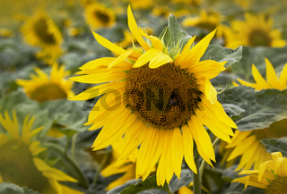 Sonnenblumen Helianthus annuus