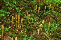 Vogel-Nestwurz, Neottia nidus-avis, bird's-nest orchid