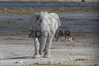 Elefant,  Etosha-Nationalpark