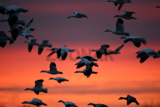 Snow geese  Bosque Del Apache National Wildlife Refuge, New Mexico USA