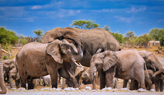 Elefantenherde staubt sich ein auf Termitenhuegel, Etosha-Nationalpark, Namibia, (Loxodonta africana) | elephants at a termite hill, Etosha National Park, Namibia, (Loxodonta africana)