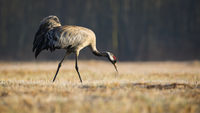 Common crane searching for food in dry grass in autumn nature