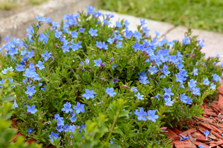 Gromwell - leuchtend blaue Blume mit kleinen Blüten