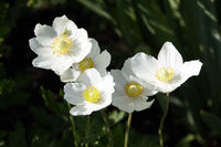 Großes Windröschen (Anemone sylvestris) im Garten