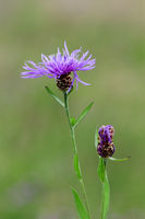 Centaurea jacea brownray knapweed with bud