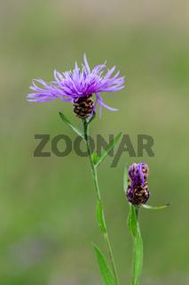 Centaurea jacea brownray knapweed with bud