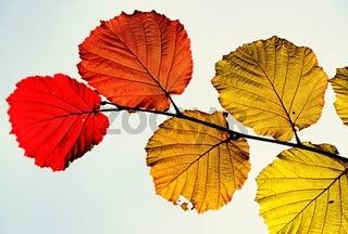 verschiedenfarbiges Herbstlaub auf einem Zweig vor einem hellen Hintergrund