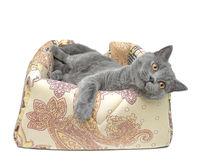 gray cat (Scottish Straight breed) on white background.