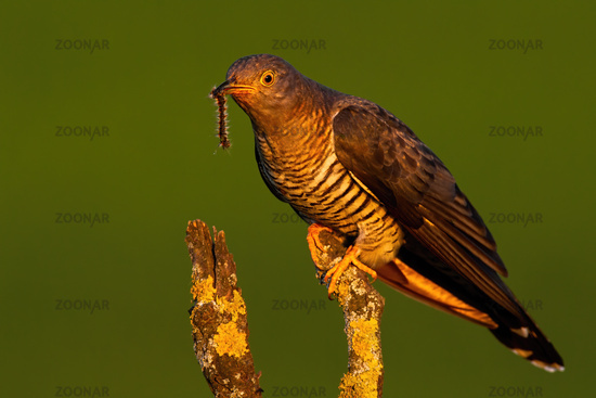 Male common cuckoo sitting on a branch in treetop at sunset in summer