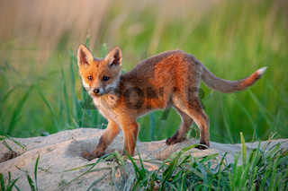 Playful red fox standing on a green meadow in spring nature at sunset.