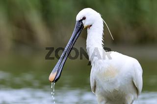 Loeffler Portraet vom Altvogel / Platalea leucoro