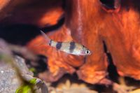 Young cyprinid fish Enteromius rohani in freshwater aquarium
