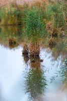 Kleine Insel aus Schilfgras in einem See mit starker Spiegelung und Textfreiraum