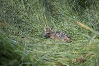 Rehkitz ,Capreolus capreolus, European roe deer