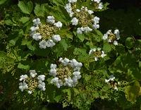 Gewoehnlicher Schneeball, Viburnum opulus, European cranberrybush,