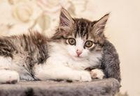 kitten lying on bed portrait