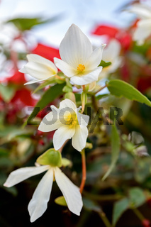 white Flowers of Begonia boliviensis