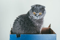 Grey Scottish fold cat sitting in blue shoe box. Cats are usually very curious and climb into boxes