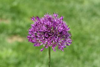 Zierlauch, Riesenlauch, Allium