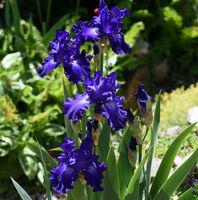 Schwertlilie, Iris Barbata-Elatior, Blue Rhythm
