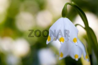 Nahaufnahme Blüte Märzenbecher