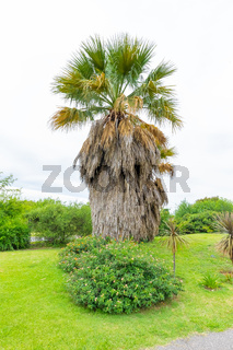Cordoba Argentina monumental palm tree