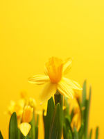 Beautiful daffodils against a yellow background