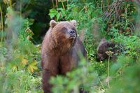 Wild Kamchatka brown bear Ursus arctos piscator in natural habitat, looking out of summer forest