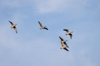Canada Geese (Branta canadensis) flying over a lake in Sussex
