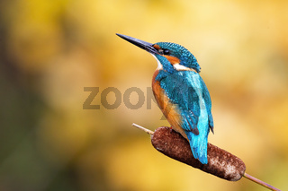 Interested common kingfisher perched in nature from back view