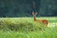 Attentive roe deer buck standing on meadow in summertime.