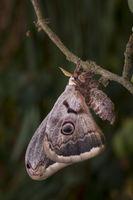 Wiener Nachtpfauenauge, Saturnia pyri, giant peacock moth - Maennchen
